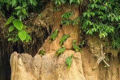 Gröna papegojor på lera slickar att äta mineraler, gröna amazons i den tropiska skogen, Brasilien, djurlivplats från den tropiska arkivbild