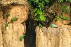Gröna papegojor på lera slickar att äta mineraler, gröna amazons i den tropiska skogen, Brasilien, djurlivplats från den tropiska royaltyfri fotografi