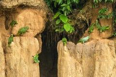 Gröna papegojor på lera slickar att äta mineraler, gröna amazons i den tropiska skogen, Brasilien, djurlivplats från den tropiska fotografering för bildbyråer