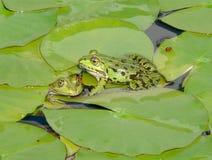 gröna par för grodor Royaltyfri Fotografi