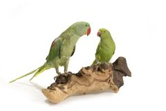 gröna parakiter perched två arkivfoto