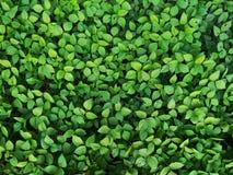 Gröna Pea Leaves 01 arkivbilder