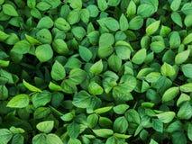Gröna Pea Leaves 02 arkivfoto