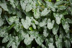Gröna Philodendronsidor i trädgård Arkivfoton