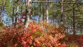Gröna pinjeskogar och röda lövfällande träd
