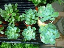 Gröna pop-uppväxter Arkivbild