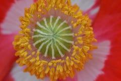 Gröna Poppy Style Yellow Anthers royaltyfri foto