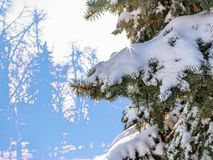 Gröna prydliga filialer täckte med ny snö arkivfoton