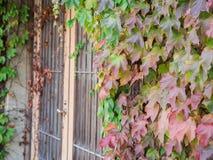 Gröna röda Ivy Climbing upp framdelen av dörren Royaltyfri Bild