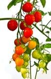 gröna röda tomater Royaltyfri Fotografi