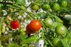 gröna röda tomater för Cherry royaltyfri fotografi