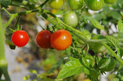 gröna röda tomater för Cherry fotografering för bildbyråer