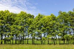 gröna radtrees Royaltyfri Foto