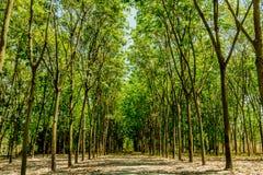 gröna radtrees Royaltyfria Bilder