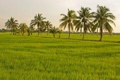 Gröna ris Arkivbild