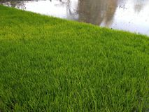 Gröna ris kärnar ur lantbruk arkivbild