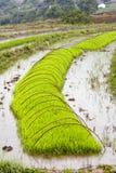 Gröna ris som växer på lantgård Arkivbild