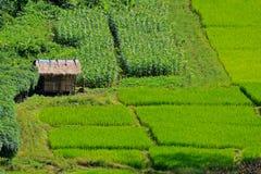 Gröna risfält Arkivbild