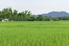 Gröna risfält av Thailand Arkivbild