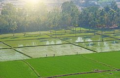 Gröna risfält eller terrasser i byn av Hampi Palmträd sol, risfält, stora stenar Tropiskt exotiskt landskap royaltyfria bilder