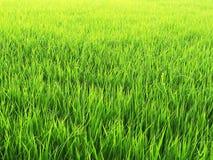 Gröna risfält för bakgrund Arkivbild