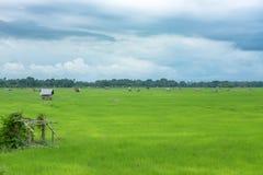 Gröna risfält och raincloud Arkivbilder