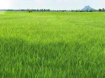 Gröna risfält på bakgrund för blå himmel Royaltyfria Foton