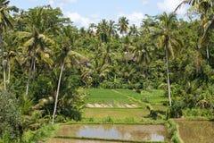 Gröna risfält på den Bali ön, Indonesien Arkivfoton
