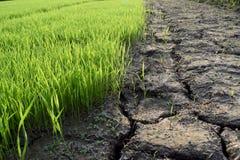 Gröna risplantor och torr jord är klyftan Arkivfoton