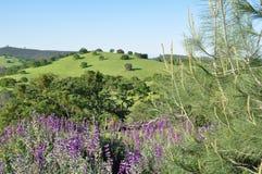Gröna Rolling Hills med purpurfärgade blommor Royaltyfri Bild