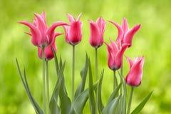 gröna rosa tulpan för bakgrund Royaltyfri Fotografi