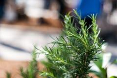 Gröna Rosemary Plant på bondes marknad arkivfoton