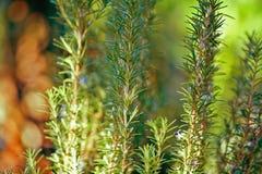 gröna rosmarinar royaltyfri fotografi