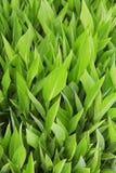 gröna saftiga leaves royaltyfri foto