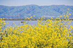 Gröna senapsgula blommor, beskickningmaximum i bakgrunden, södra San Francisco Bay, Sunnyvale, Kalifornien arkivbilder