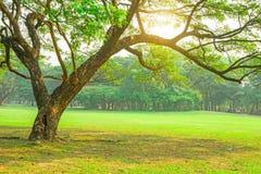 Gröna sidafilialer av det stora regnträdet som täcker på gräsmatta för grönt gräs under molnig himmel, alldeles av träd på bakgru arkivbild