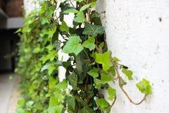 Gröna sidor av dekorativa druvor fotografering för bildbyråer