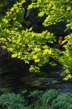 Gröna sidor av ett träd ovanför floden royaltyfri fotografi