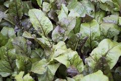 Gröna sidor av fotoet det lövverk för beta ny och ny organiska åkerbruka, royaltyfria bilder