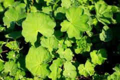 Gröna sidor av lady'sansvaret eller alchemilla royaltyfri fotografi