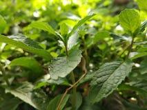 Gröna sidor av mintkaramellväxten royaltyfri bild