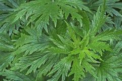Gröna sidor av motherworten Bakgrund med gröna sidor av LeonurusLeonuruscardiacaen royaltyfri foto