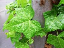 Gröna sidor av murgrönabakgrund arkivfoton