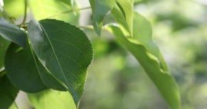 Gröna sidor av trädet som svänger i vind Naturbakgrundscloseup stock video