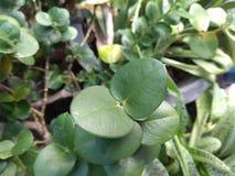 Gröna sidor av växten av det naturligt royaltyfri fotografi