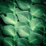 Gröna sidor för tropisk växt Royaltyfri Bild