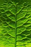 Gröna sidor markerade vid solen Växten har en härlig struktur royaltyfria foton