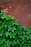 Gröna sidor mot bakgrunden av den gamla väggen arkivfoto
