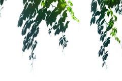 Gröna sidor skuggar på den vita väggen arkivfoton