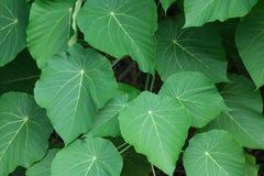 Gröna sköldsidor av den Macaranga tanariusen Fotografering för Bildbyråer
